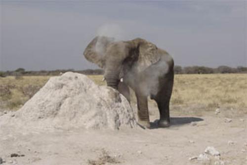 Namib Elephant