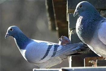 Don't Pester the Pigeons!