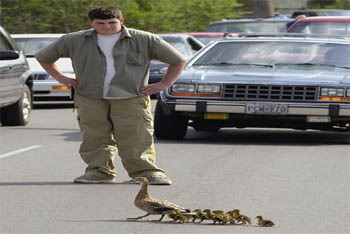 Helping Mrs. Duck Cross the Road