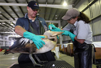 Cleaning a sea bird affected by an oil spill