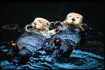 These two sea otters are covered in oil from a spill