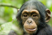 Preview chimpanzee preview