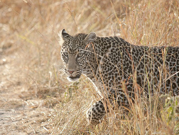 Leopards are one of the 5 big cats in India