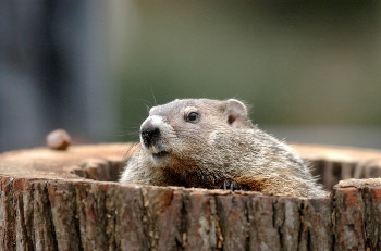 Groundhogs are also known as woodchucks