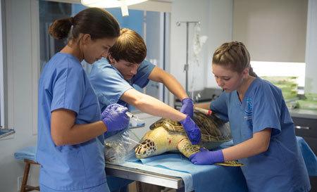 Hazel, Sawyer and staff try to heal turtle Mavis
