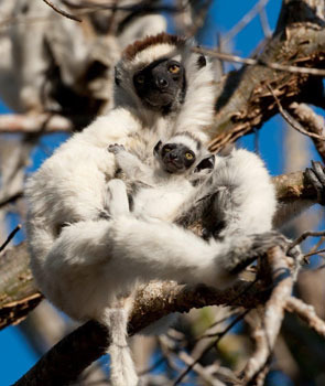 Fluffy mom Sifaka lemur with adorable baby