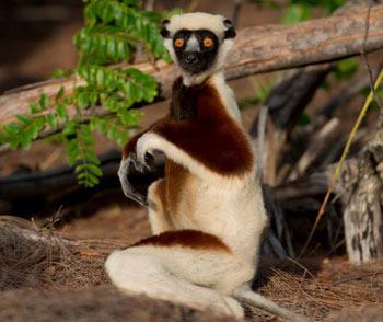 A Sifaka lemur gets a surprise
