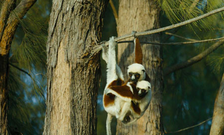 Lemur mom and baby swing through trees