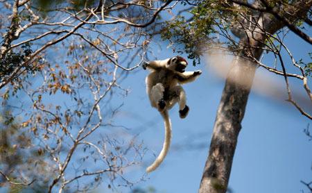 Airbourne Lemur!