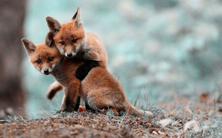 Two red fox cubs