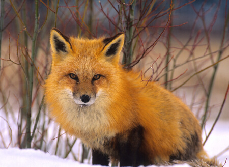 Foxes burrow underground or find hollows for their dens