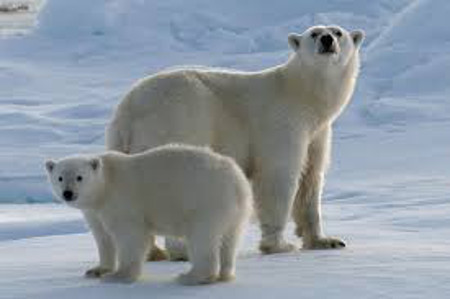 Polar bear fur helps them blend in with the snow
