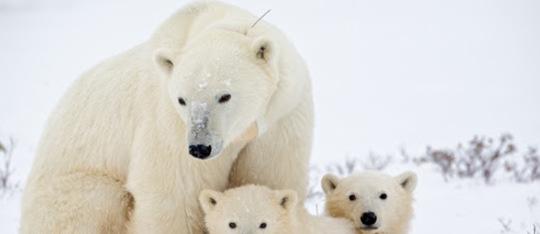 Feature polar bear family feature