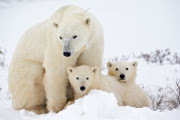 Preview polar bear family preview