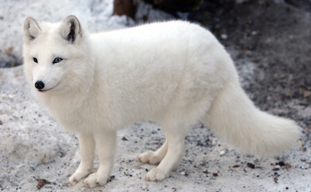 The arctic fox actually changes color depending on the season!