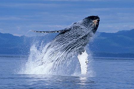 A huge whale breaching