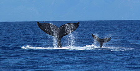 Mom and baby whale flap their tails