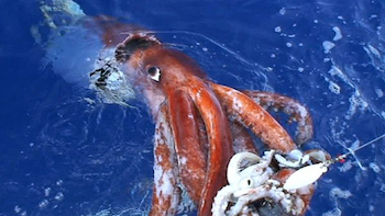 The giant squid can be up to 45 feet long!