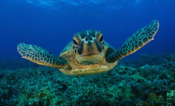 The Kemp's Ridley Sea Turtle is the most endangered sea turtle in the world