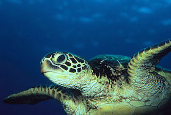 The largest Green Sea Turtle ever recorded was 871 pounds!