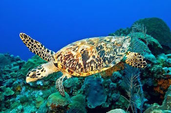 Hawksbill Sea Turtles are often killed for their unique-looking shells