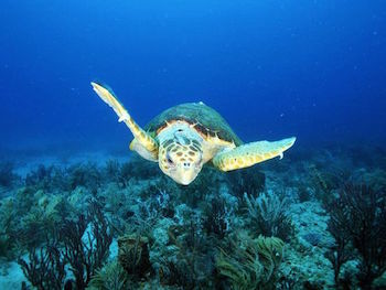 Loggerhead Sea Turtles are at risk largely due to pollution