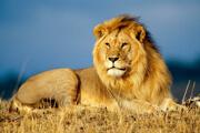 Preview lion pre