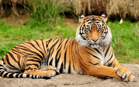 Tigers are known for their dark stripes