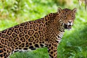 Preview jaguar pre