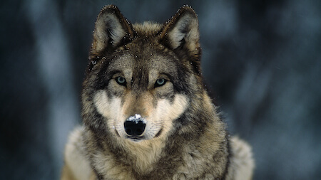 Dogs are thought to be descended from Gray Wolves