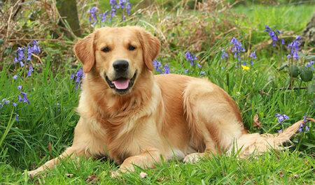 Golden Retrievers are a favorite family dog!