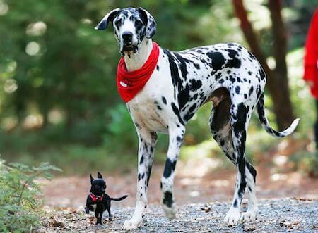 You might not expect it, but Great Danes are super gentle!