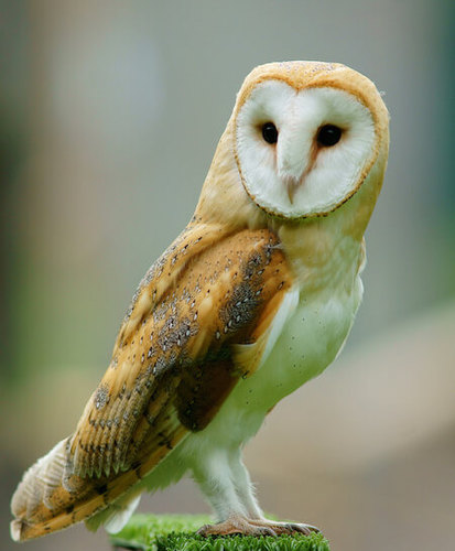 The barn owl is distinctive because of it's heart shaped face