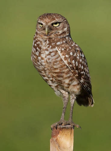 This burrowing owl doesn't hoot - it hisses!
