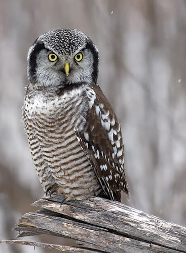 This northern hawk owl actually stays awake during the day!