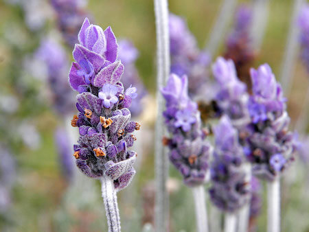 The smell of lavender can actually cause relaxation!