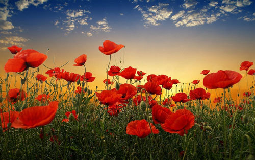 Poppies are a symbol of remembrance on this day
