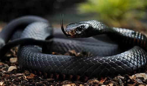 World's Fastest Snake   The Black Mamba