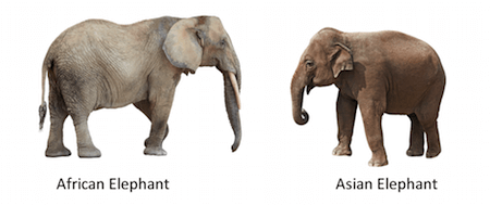 As you can see, there is quite a clear difference between African and Asian elephants.
