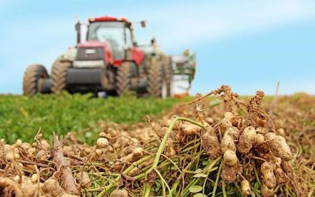 A lot of American farmers make their living by harvesting peanuts.