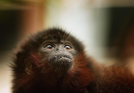 This new species of titi monkey is adorable.