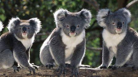 Adorable Koala bears!