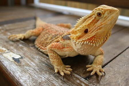 If you're looking for a lizard, a bearded dragon could be a good choice!
