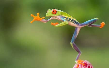 This tree frog has quite a leap!