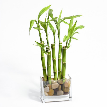 Lucky bamboo is a great gift!