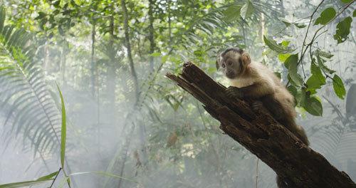 Saï in Amazonia