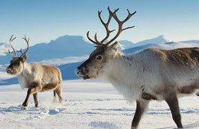 Preview reindeer pre