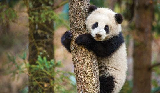 Baby panda tries to climb a tree