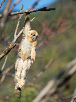 Teen monkey swings for fun
