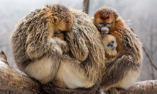 The monkey family cuddles against the cold